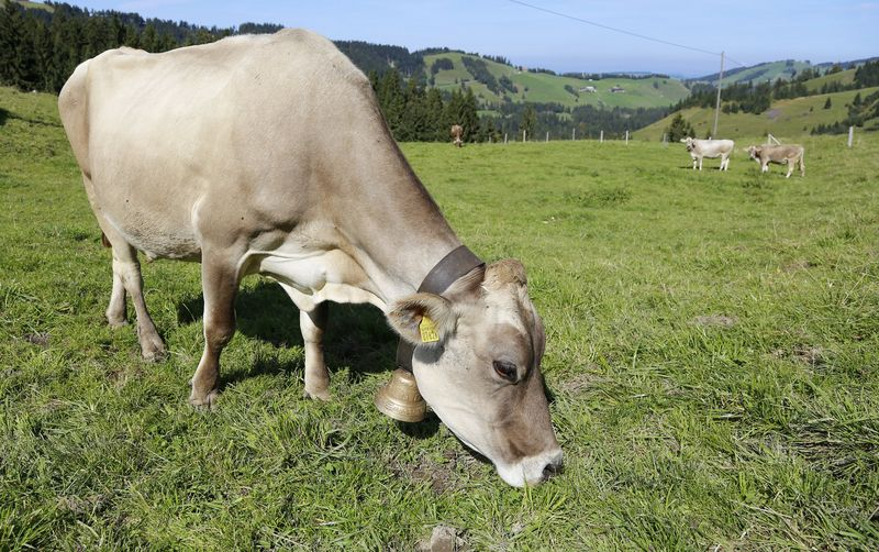 Brown Swiss-Kühe
